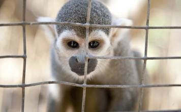 FDA-monkey-nicotine-research