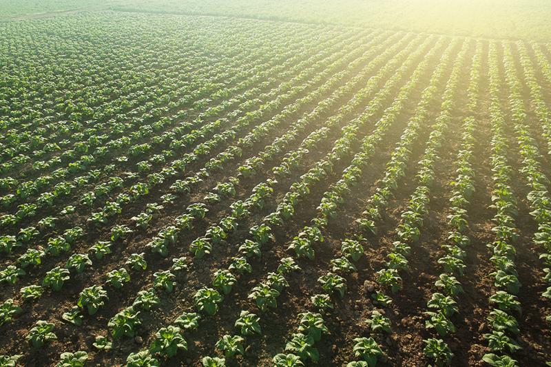 tobacco-field-in-Thailand