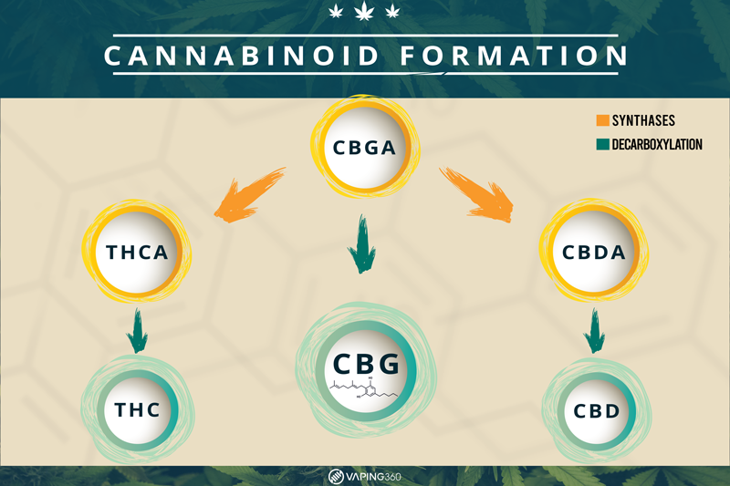 cannabinoid formation infographic
